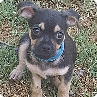Adopt A Pet :: Bacon - BLT litter - Phoenix, AZ