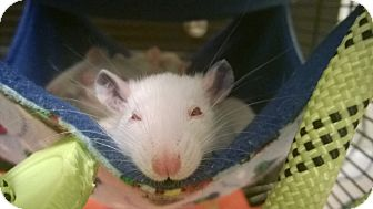Rat for adoption in Columbia, South Carolina - Penny