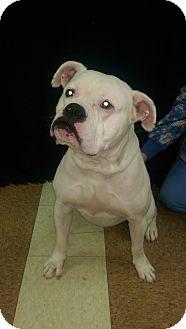 Boxer Mix Dog for adoption in Orland Park, Illinois - Polaris