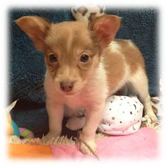 Jack Russell Terrier/American Eskimo Dog Mix Puppy for adoption in Beachwood, Ohio - Baby Hooter