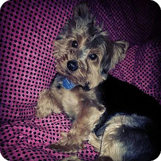 Yorkie, Yorkshire Terrier Dog for adoption in Rock Hill, South Carolina - Wuki