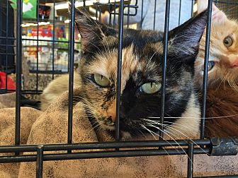 Calico Cat for adoption in San Fernando Valley, California - Eloise