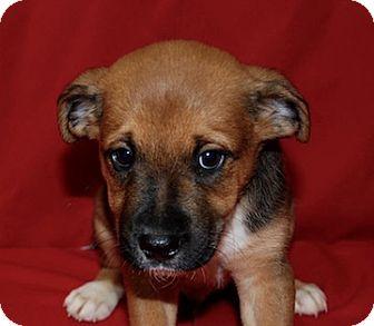 Border Collie/Rottweiler Mix Puppy for adoption in Portola, California - Malcolm