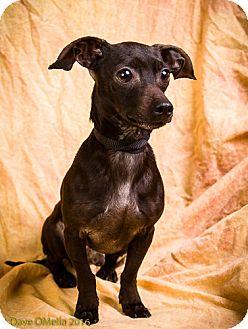 Dachshund Mix Dog for adoption in Anna, Illinois - SHILOH