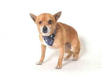Chihuahua Mix Dog for adoption in Morgan Hill, California - Ziggy