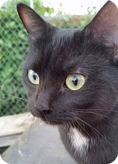 Domestic Mediumhair Cat for adoption in Barrie, Ontario - Shadow