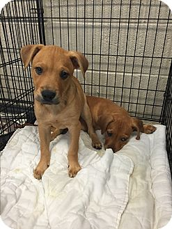 Retriever (Unknown Type) Mix Puppy for adoption in Wilmington, Delaware - Bobby