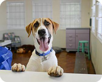 Labrador Retriever/German Shepherd Dog Mix Puppy for adoption in Charlotte, North Carolina - Spot