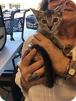 Domestic Shorthair Kitten for adoption in Palm Springs, California - Ginger