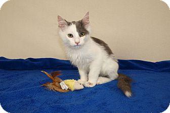 Domestic Longhair Kitten for adoption in Jackson, Mississippi - Clyde