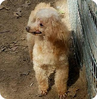 Toy Poodle Dog for adoption in Hurst, Texas - Moonshine