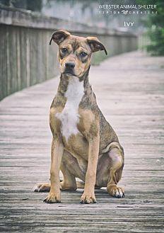 German Shepherd Dog Mix Dog for adoption in Webster, Texas - Ivy