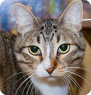 Domestic Shorthair Cat for adoption in Irvine, California - Moria