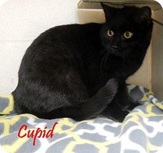 Domestic Shorthair Cat for adoption in Bucyrus, Ohio - Cupid