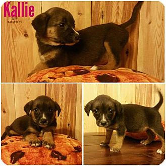 Black Mouth Cur Mix Puppy for adoption in New Milford, Connecticut - Kallie