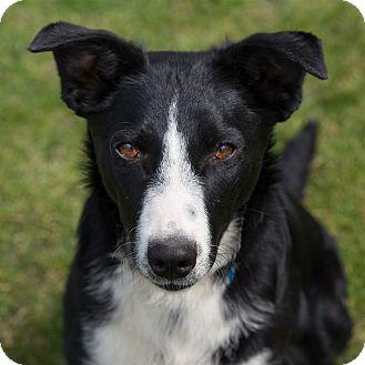 English Shepherd Mix Dog for adoption in Westfield, New York - Macy