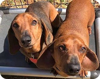 Dachshund Dog for adoption in Holliston, Massachusetts - Oliver