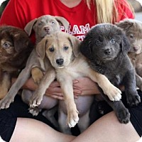 Adopt A Pet :: Box Puppies - Females - San Diego, CA