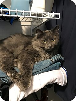 Domestic Longhair Cat for adoption in Nashville, Tennessee - COURTESY POST: Loki