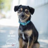 Terrier (Unknown Type, Small) Mix Dog for adoption in Bakersfield, California - 155498
