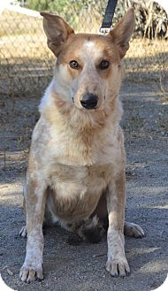 Australian Cattle Dog Dog for adoption in Newhall, California - Scout