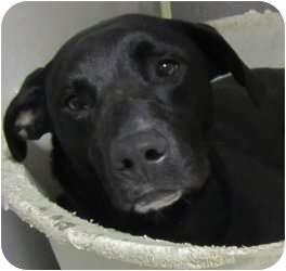 Labrador Retriever Mix Dog for adoption in Olathe, Kansas - Omar