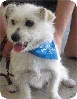 Norfolk Terrier Mix Dog for adoption in Poway, California - NOAH