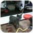 Photo 2 - Russian Blue Cat for adoption in Medford, New Jersey - Lil Kath