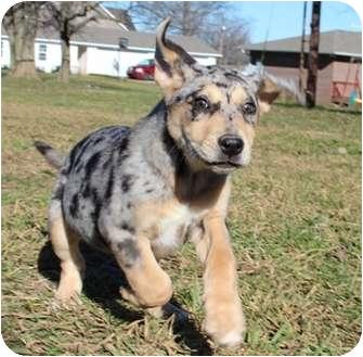 Australian Shepherd Mix Puppy for adoption in Hagerstown, Maryland - Twister