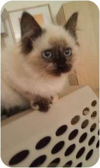 Siamese Kitten for adoption in Houston, Texas - Sisalie (Beautiful!)
