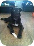Border Collie/Labrador Retriever Mix Dog for adoption in Norwalk, Connecticut - Cody