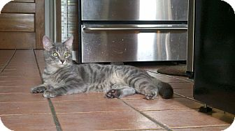 Domestic Shorthair Cat for adoption in Chicago, Illinois - Rocky