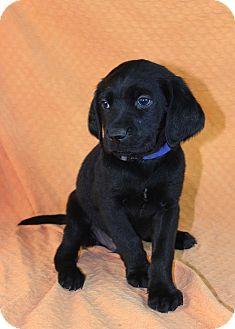 Labrador Retriever Mix Puppy for adoption in Westminster, Colorado - Paddy