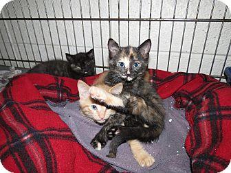 Domestic Shorthair Kitten for adoption in Henderson, North Carolina - W kittens