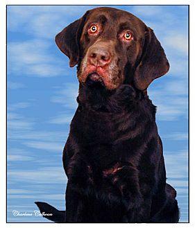 Labrador Retriever Dog for adoption in Newland, North Carolina - Forbes