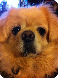 Pekingese Mix Dog for adoption in Portland, Maine - Sal