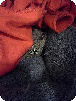 Domestic Shorthair Cat for adoption in Kohler, Wisconsin - Stormy