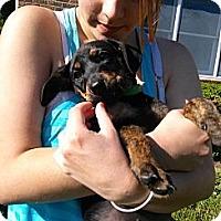 Adopt A Pet :: Calypso - South Jersey, NJ
