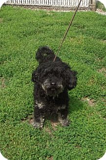 Shih Tzu/Poodle (Miniature) Mix Dog for adoption in Paris, Illinois - Patches