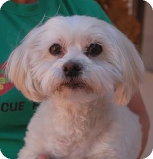 Lhasa Apso Mix Dog for adoption in Las Vegas, Nevada - Pennington