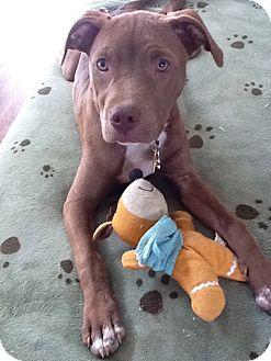 Labrador Retriever/Hound (Unknown Type) Mix Dog for adoption in Media, Pennsylvania - BIRDIE BABY