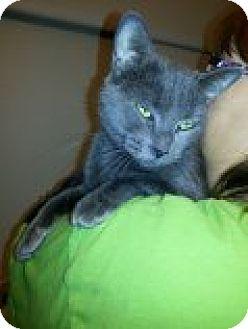 Domestic Shorthair Cat for adoption in Hanna City, Illinois - Cora