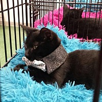 Domestic Shorthair Cat for adoption in St. Cloud, Florida - Dexter