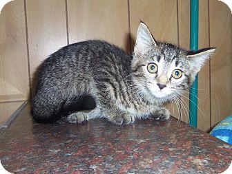 Egyptian Mau Kitten for adoption in Medford, Wisconsin - JOHNNIE