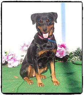 Rottweiler Dog for adoption in Marietta, Georgia - CUTIE (R)