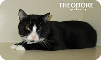 Domestic Shorthair Cat for adoption in Elizabeth City, North Carolina - Theodore