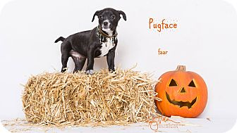 Rat Terrier/Pug Mix Puppy for adoption in Riverside, California - Pugface