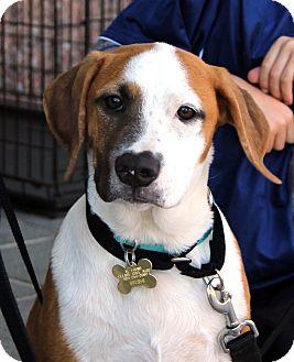 Hound (Unknown Type)/Boxer Mix Puppy for adoption in Richmond, Virginia - Nux