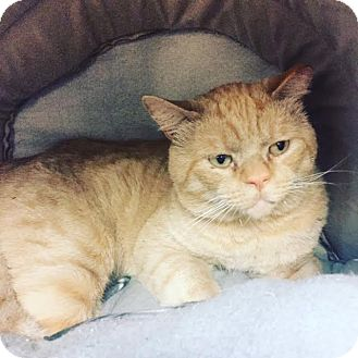 American Shorthair Cat for adoption in Westminster, California - Rocket