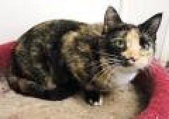 Calico Cat for adoption in Stuart, Virginia - Suri